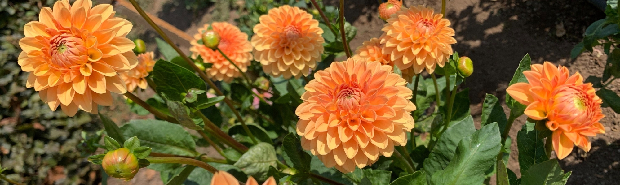 orange dahlias (flowers)